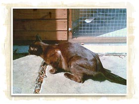 Rehome burmese cat uk